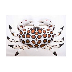 Calico Krab 60 cm
